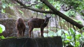 Il serow di Taiwan che mangia nello swinhoei del Capricornis della foresta stock footage