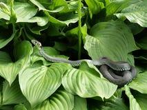 Il serpente Fotografia Stock Libera da Diritti