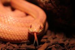 Il serpente di erba è in muta con la lingua Fotografie Stock Libere da Diritti