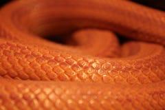 Il serpente di erba è in muta/Ringelnatter Fotografie Stock Libere da Diritti