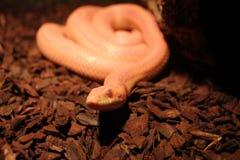 Il serpente di erba è in muta/Ringelnatter Fotografia Stock