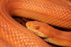 Il serpente di erba è in muta/Ringelnatter Immagini Stock Libere da Diritti