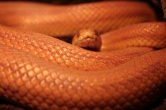 Il serpente di erba è in muta/Ringelnatter Fotografie Stock
