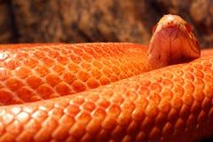 Il serpente di erba è in muta - Ringelnatter Fotografia Stock Libera da Diritti