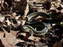 Il serpente di giarrettiera si prepara per colpire immagini stock libere da diritti