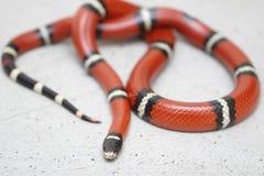 Il serpente di latte orientale sta riposando Fotografia Stock Libera da Diritti