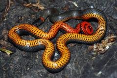 Il serpente di Ringneck mostra la sua pancia come visualizzazione di minaccia immagini stock libere da diritti
