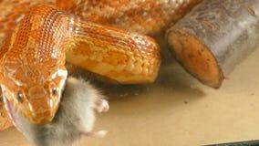 Il serpente inghiotte il topo intero stock footage