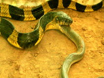 Il serpente mangia il serpente video d archivio