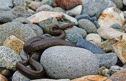 Il serpente sulle pietre. Fotografie Stock