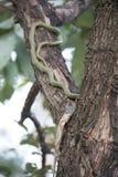 Il serpente verde che mangia lucertola Fotografia Stock