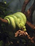 Il serpente verde si è arrotolato intorno ad una filiale Fotografia Stock Libera da Diritti