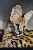 Il serval maschio di leptailurus del gatto del serval guarda giù Fotografie Stock Libere da Diritti