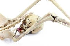 Il sesso di Halloween, scheletri modella su fondo bianco Fotografia Stock Libera da Diritti