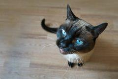 Il Siam il gatto fotografie stock