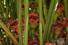 Il Siam tropicale è aumentato Fotografia Stock