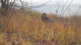 Il siberiano ad ovest Laika della razza del cane cerca nell'erba asciutta Il cane prende il topo stock footage