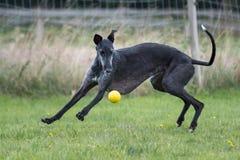 Il sighthound nero gioca con una palla fotografia stock libera da diritti