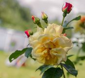 Il significato delle rose gialle luminoso, allegro ed allegro crea le sensibilità calde e fornisce la felicità Vi portano e immagine stock libera da diritti