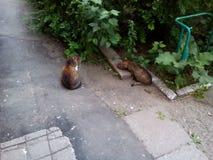 Il signore del gatto che aspetta fino alla signora del gatto mangia Immagini Stock Libere da Diritti