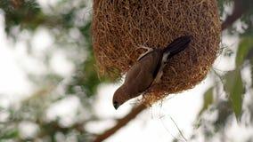 Il silverbill indiano o il munia dalla gola bianca Fotografie Stock Libere da Diritti