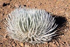 Il silversword del  di HaleakalÄ (sottospecie del sandwicense del Argyroxiphium mac Fotografie Stock