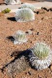 Il silversword del  di HaleakalÄ (sottospecie del sandwicense del Argyroxiphium mac Immagine Stock Libera da Diritti