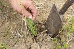 Il silvicoltore coltiva un albero Gli agricoltori stanno piantando gli alberi Fotografie Stock