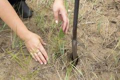 Il silvicoltore coltiva un albero Gli agricoltori stanno piantando gli alberi Immagini Stock