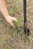 Il silvicoltore coltiva un albero Gli agricoltori stanno piantando gli alberi Immagine Stock Libera da Diritti
