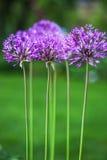 Il singolo allium fiorisce con la testa luminosa della viola su un fondo del giardino Fotografia Stock Libera da Diritti