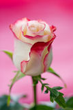 Il singolo colore rosa è aumentato Fotografia Stock Libera da Diritti