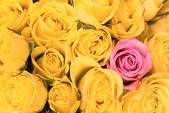 Il singolo colore rosa è aumentato all'interno Fotografia Stock