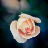 Il singolo colore rosa è aumentato su uno sfondo naturale scuro Fotografia Stock