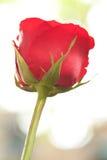 Il singolo colore rosso è aumentato dalla vista inferiore Fotografie Stock Libere da Diritti