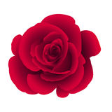 Il singolo fiore è aumentato Immagini Stock