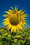 Il singolo girasole vivo ha messo contro il cielo blu profondo dell'estate immagine stock libera da diritti