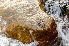 Il singolo granchio si è appollaiato su roccia con le onde che si ritira sotto Immagine Stock