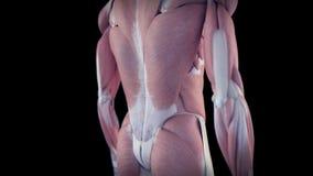Il sistema di muscolo umano illustrazione di stock