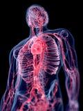 Il sistema vascolare umano illustrazione vettoriale