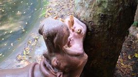 Il soggiorno dell'ippopotamo ed aspettare un alimento archivi video