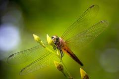 Il soggiorno della mosca del drago sulla foglia nel modello della natura Fotografie Stock Libere da Diritti