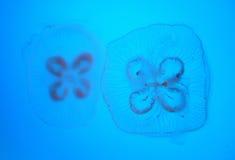 Il sogno delle meduse immagine stock