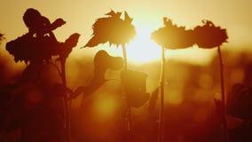 Il sole arancio splende attraverso la pianta del girasole Il girasole maturo, piega alla terra ed è pronto per il raccolto archivi video