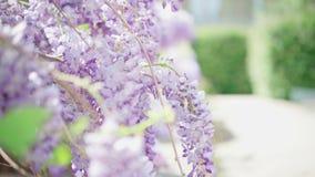 Il sole dell'estate che splende con le belle glicine di fioritura fiorisce un giorno soleggiato Attaccatura porpora dei petali di stock footage