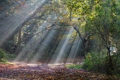 Il sole di mattina rays splendere nella foresta di autunno Immagini Stock
