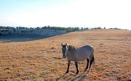 Il sole di pomeriggio che accende un Gray di Grulla del cavallo selvaggio ha colorato la giumenta su Sykes Ridge sopra la ciotola Fotografie Stock Libere da Diritti