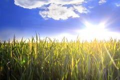 Il sole sopra il giacimento di grano Fotografia Stock Libera da Diritti