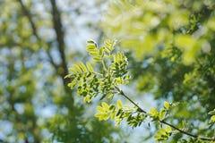 il sole splende attraverso il giovane fogliame verde di un albero acacia fotografia stock