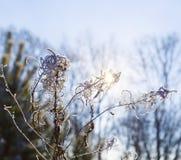 Il sole splende attraverso la pianta con i gambi torti di gelo invernale Fotografia Stock